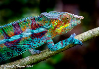 Madagascan Panther Chameleon in the wild