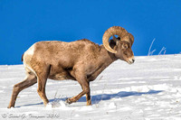 Yellowstone Big-Horn Sheep