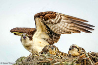 Osprey with Chicks - 18th Fairway