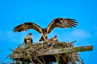 Parent Osprey Feeding Chicks