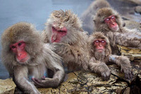 Snow Monkeys, Jigokudani Yaen-Koen Wild Monkey Park