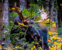 """Bull Moose on the loose"""