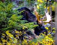 Bull Moose on the loose