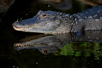 Alligator reflections