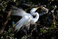 Gt. Egret in mating plumage