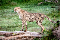 Tanzania-2014  The Cats-108