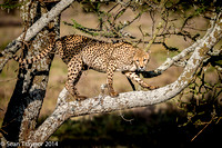 Tanzania-2014  The Cats-110