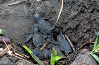 Green Turtles Hatching