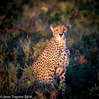 Tanzania-2014  The Cats-100