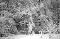 Trees covered in snow after a blizzard, Rausu, Hokkaido