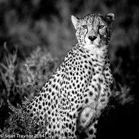 Tanzania-2014  The Cats-103