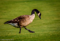 Canada Goose strolling across 17th fairway